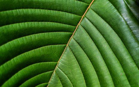 Kratom extract leaf mitragynine